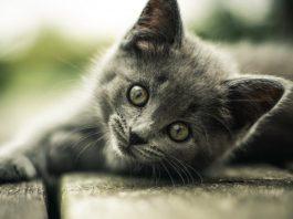 maček