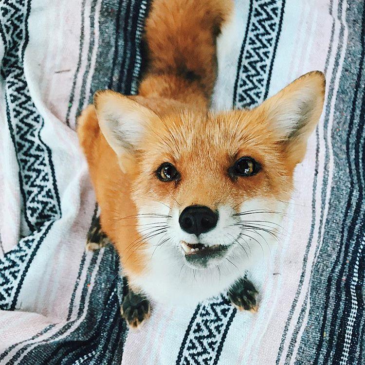 lisica, slavna, zvezda